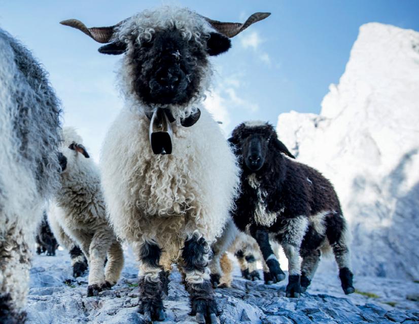 Swisswool : la laine de qualité utilisée par Ortovox