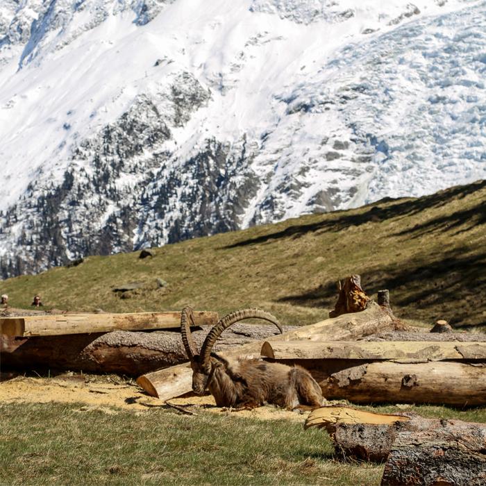 nature-animaux-Vallée de Chamonix - Salomé ABRIAL-7413